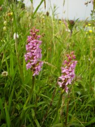 Orchids on the croft